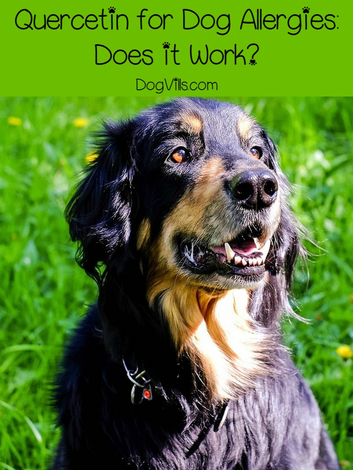 Quercetin for Dog Allergies: Does it Work?