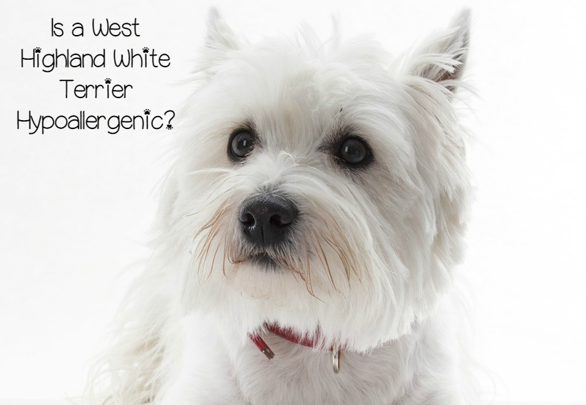 is a west highland white terrier a hypoallergenic dog breed