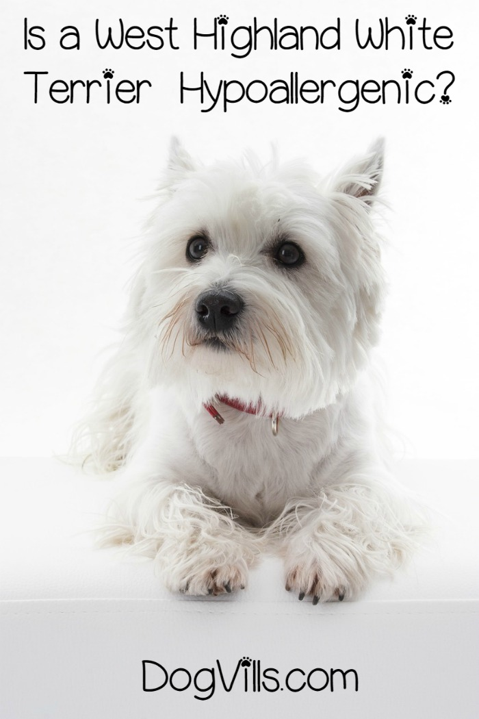 Is a West Highland White Terrier a Hypoallergenic Dog Breed?