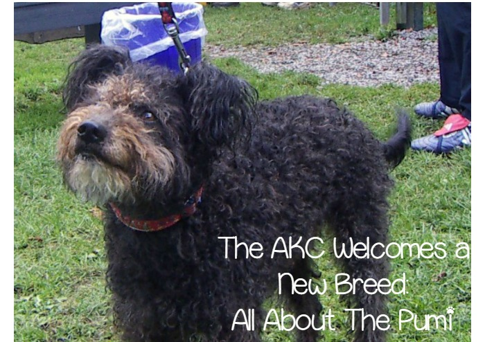 Introducing The Pumi The Akcs Newest Recognized Dog Breed