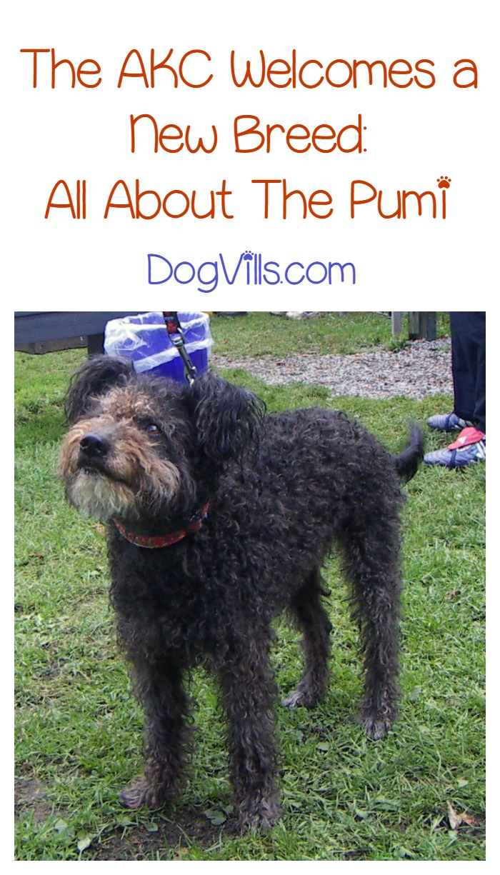 Meet the American Kennel Club's Newest Dog Breed- The Pumi