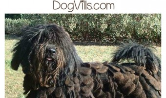 The Bergamasco is a highly intelligent, eager to please herding dog with a distinct look. But is he a hypoallergenic dog breed? Find out!