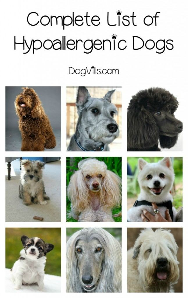 Complete List Of Hypoallergenic Dog Breeds