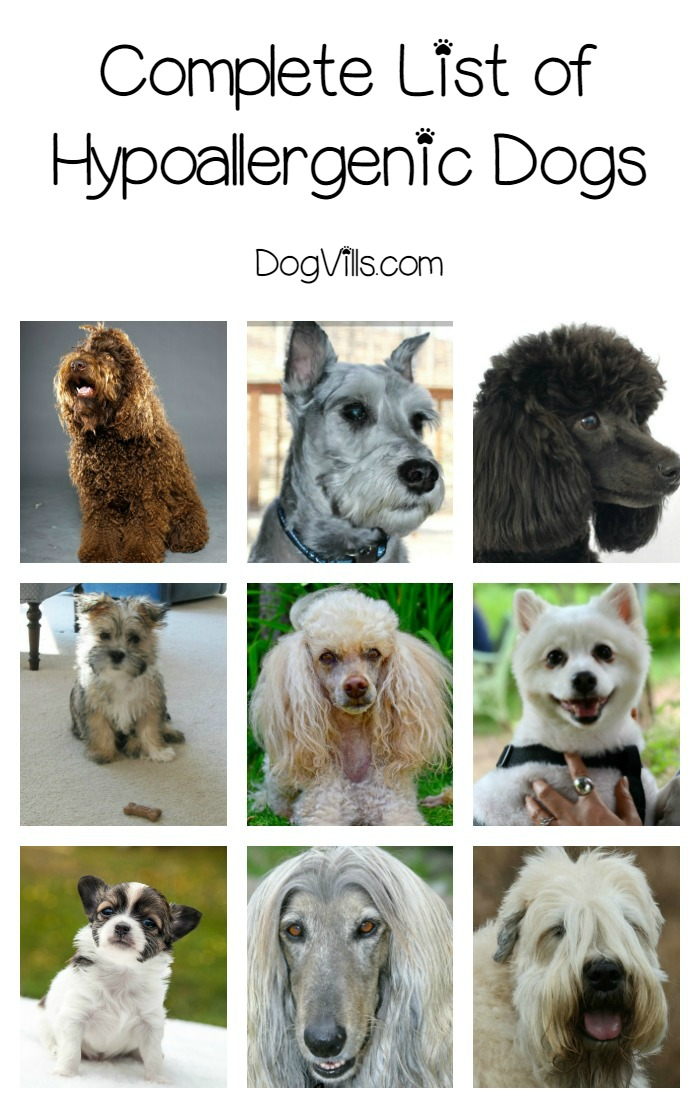 Smallest Toy Dog Breeds List : Complete list of hypoallergenic dog breeds