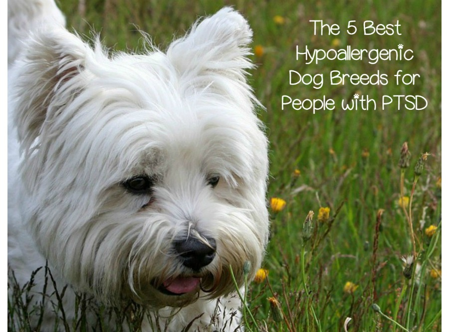 Best Hypoallergenic Dog Breeds For Ptsd