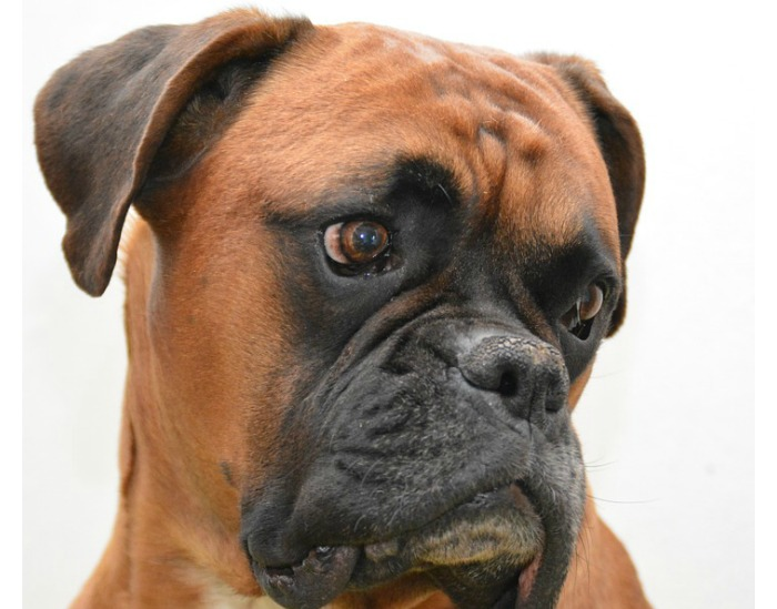 Boxers are among the stinkiest dog breeds.