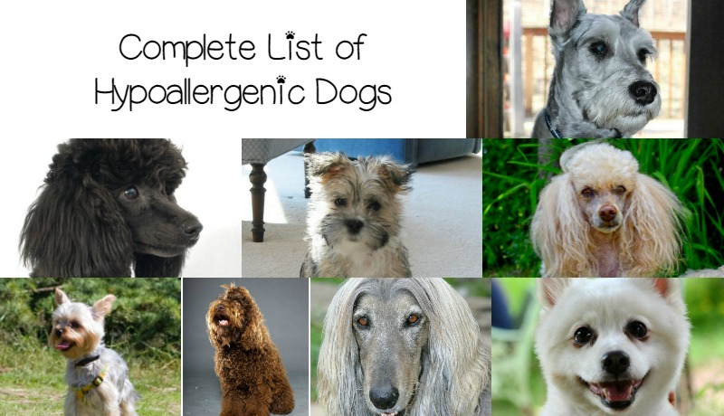 Pictures list with hypoallergenic of dogs