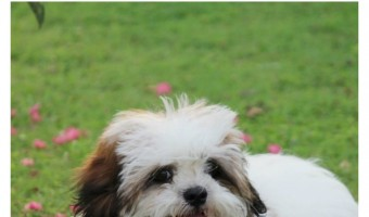 Is the Kyi-Leo a Hypoallergenic Dog?