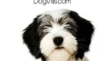 Polish Lowland Sheepdog – All About Wile E.'s Menace