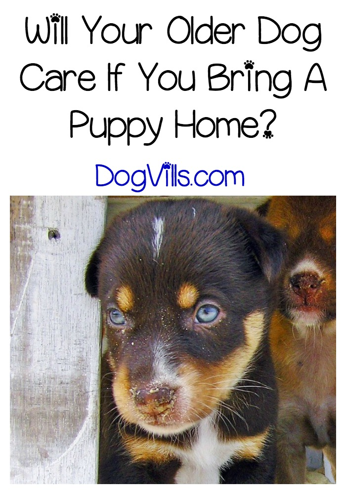 Will Your Older Dog Care If You Bring A Puppy Home?