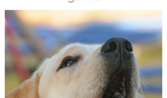 Can finding the best dog food for labs with ear infections really make a huge difference with the problem? Find out!