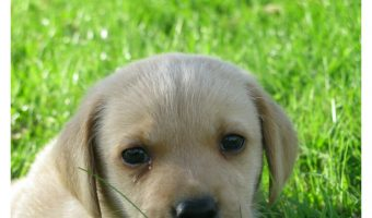 The best food for lab puppies is the one that supports their high energy! Check out our tips for choosing!