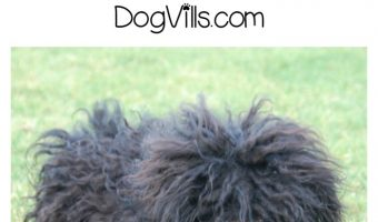 Puli Dog – Everything You Need to Know About the Mop Dog