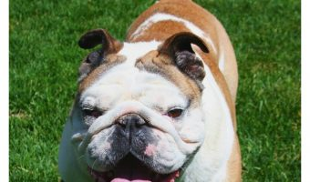 Best Hypoallergenic Dog Food For Bulldogs