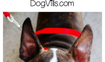 What is The Best Hypoallergenic Dog Food for Boston Terriers?