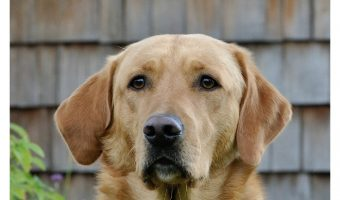 The right ingredients can help combat skin issues or keep them at bay altogether. Check out tips for picking the best dog food for labs with skin issues.