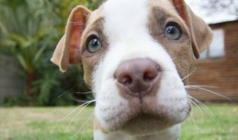 These adorable Pitbull puppy pictures are going to make you smile! These puppies are so cute it almost hurts, you have to see!