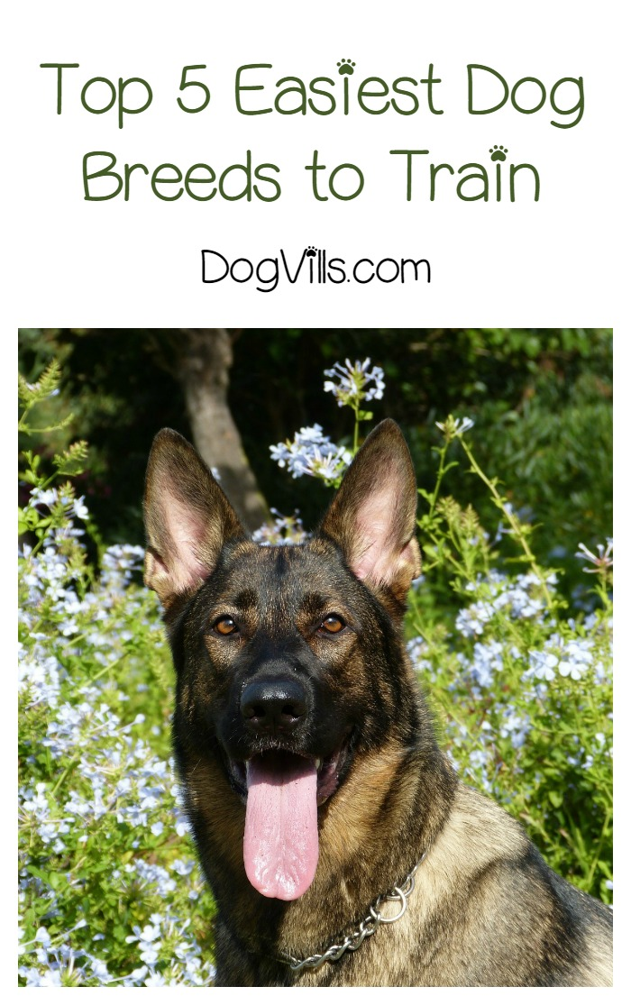 What are the Top 5 Easiest Dogs to Train
