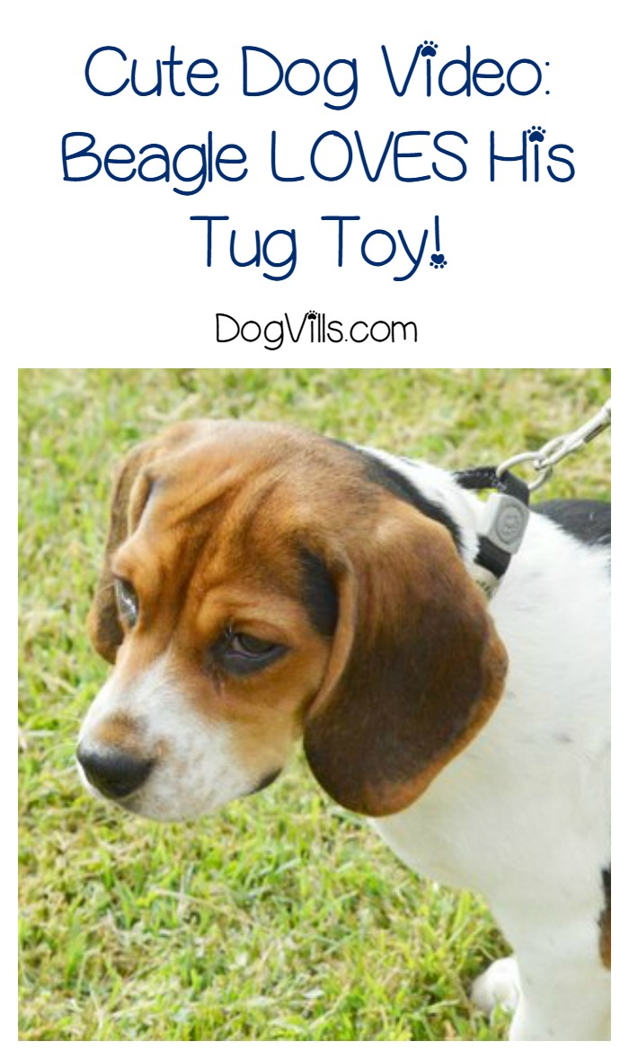 This Dog Really Loves His Tug Toy! Don't Touch! [with video]