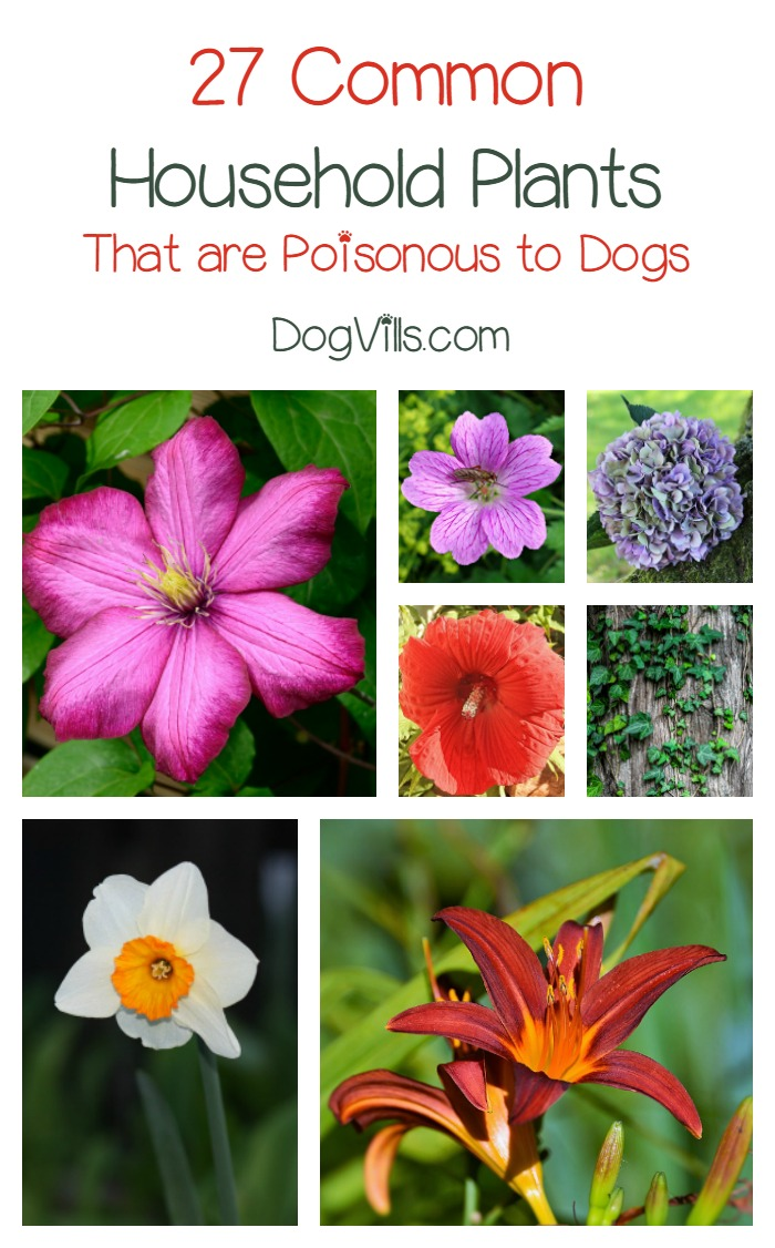 poisonous-plants-for-dogs Hypoallergenic House Plants on durable house plants, long lasting house plants, allergy house plants, non toxic house plants,