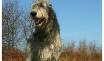 Thinking about getting a REALLY BIG pooch? Check out the top 5 largest dog breeds!