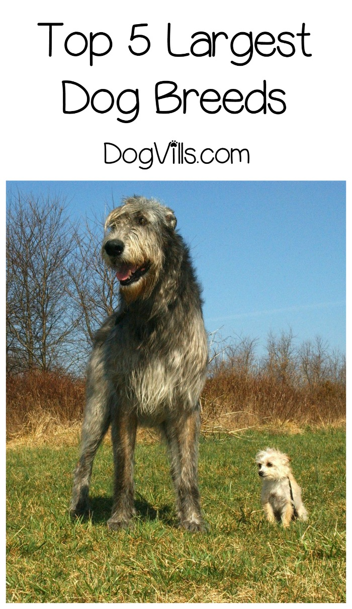 What Are Some Of The Largest Dog Breeds