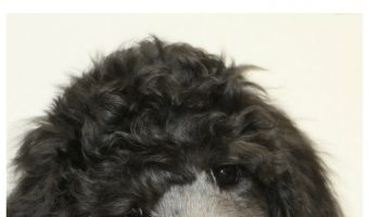 Is the Poodle a Good Hypoallergenic Dog?