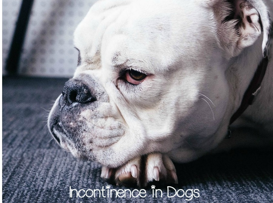 What Can I Give My Dog For Incontinence