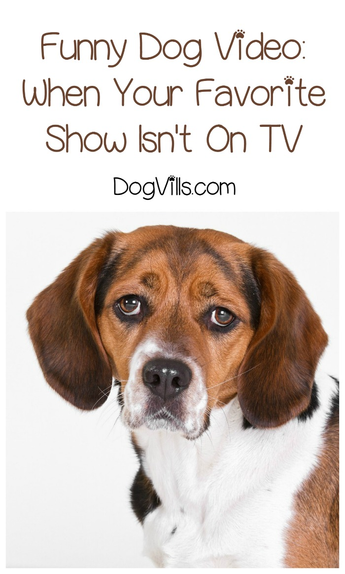 Funny Dog Video: This Little Guy Doesn't Really Like This TV Show!