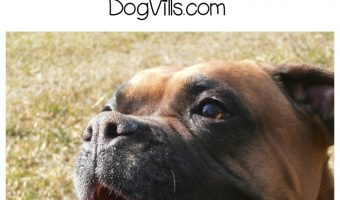 Love boxers? You'll love today's installment of our Funny Talking Dog Videos series! Check out five funny clips featuring chatty boxers!