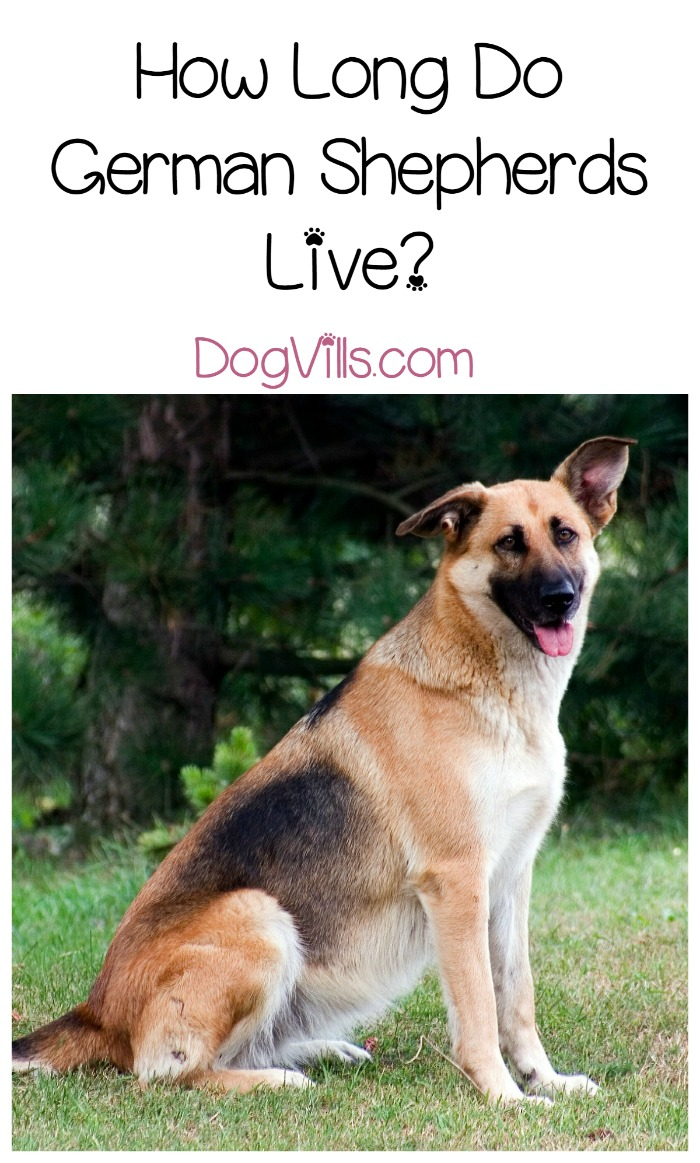 German Shepherd Life Expectancy – How Much Time Will You Have
