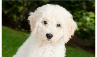 Training a Labradoodle – The Best Way to Approach the Goofball Breed