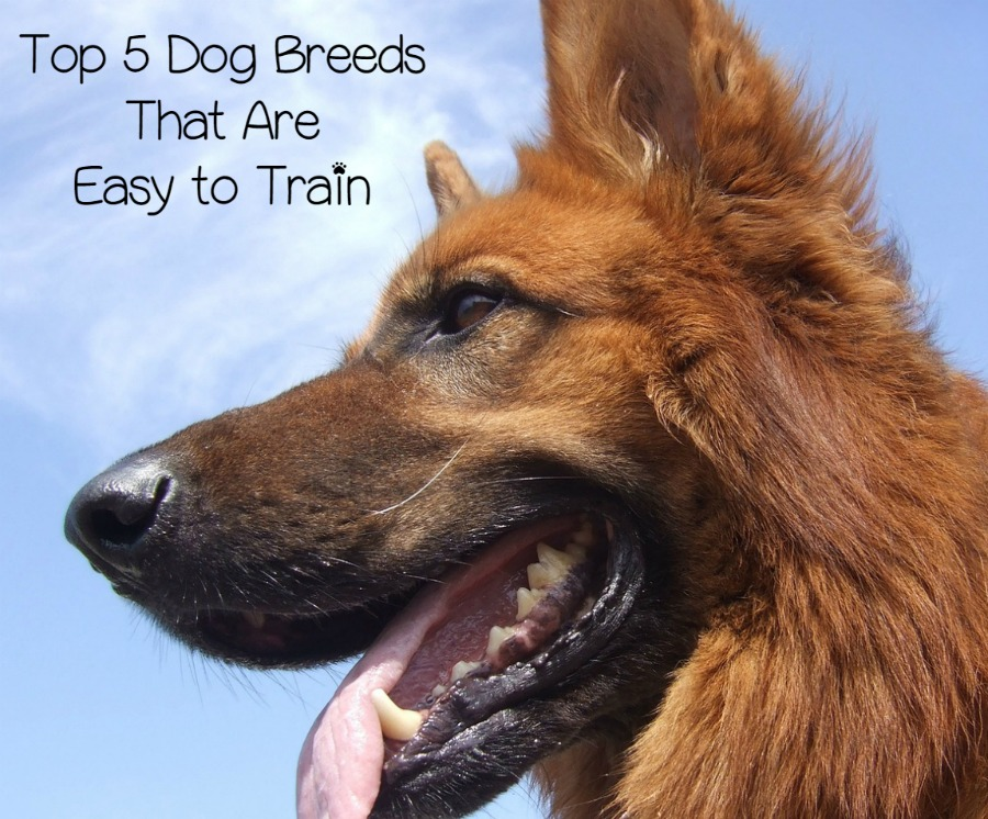 Top 5 Dog Breeds That Are Easy to Train - DogVills