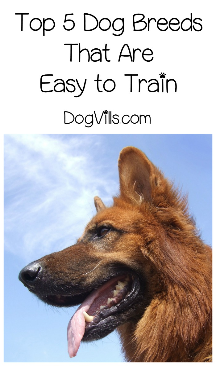 Top 5 Dog Breeds That Are Easy to Train