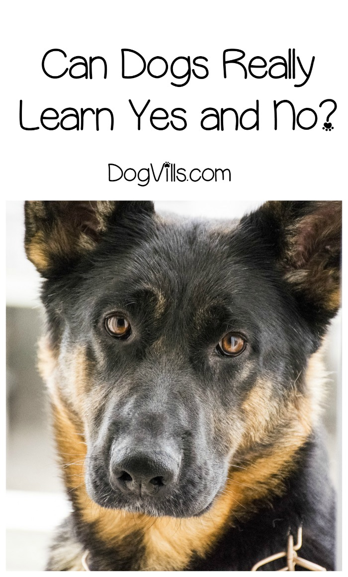 Teaching Yes and No to a Dog – Do They Understand It?
