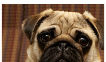 Looking for the hottest celebrity pug dog owners? Check out our list of famous people who just adore sweet squishy-faced dog breeds!