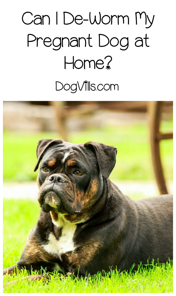 Deworming Dogs Can I Give My Pregnant Dog Dewormer