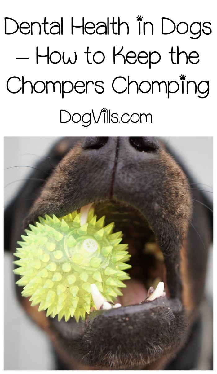 Dental Health in Dogs – How to Keep the Chompers Chomping