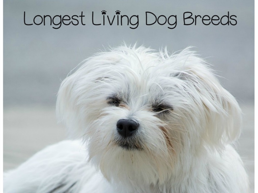 Top Longest Living Dog Breeds 13 Dogs With Long Life