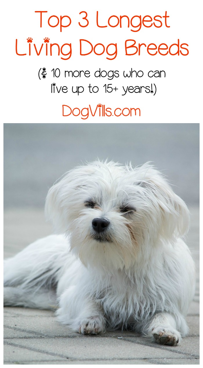 13 of the Longest Living Dog Breeds
