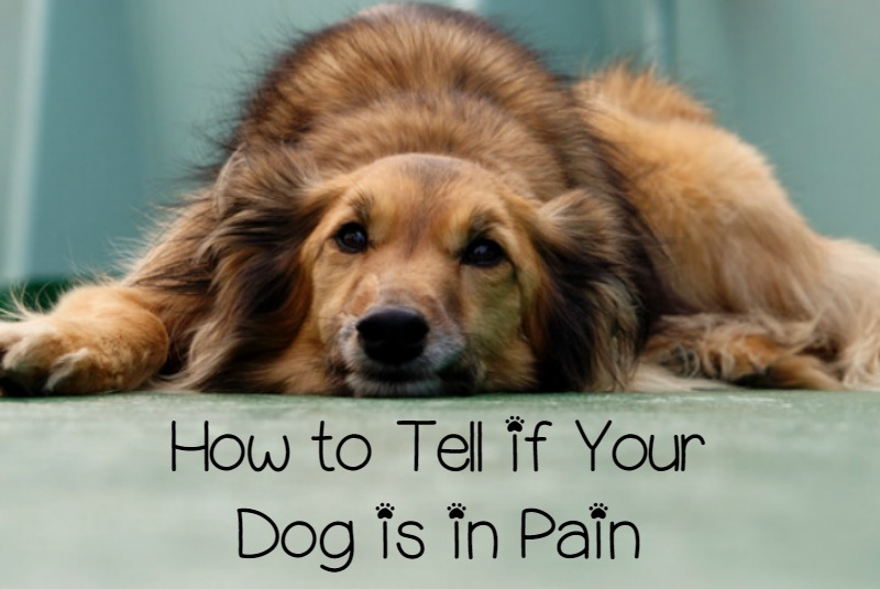 How Can I Tell If My Dog is in Pain? - DogVills