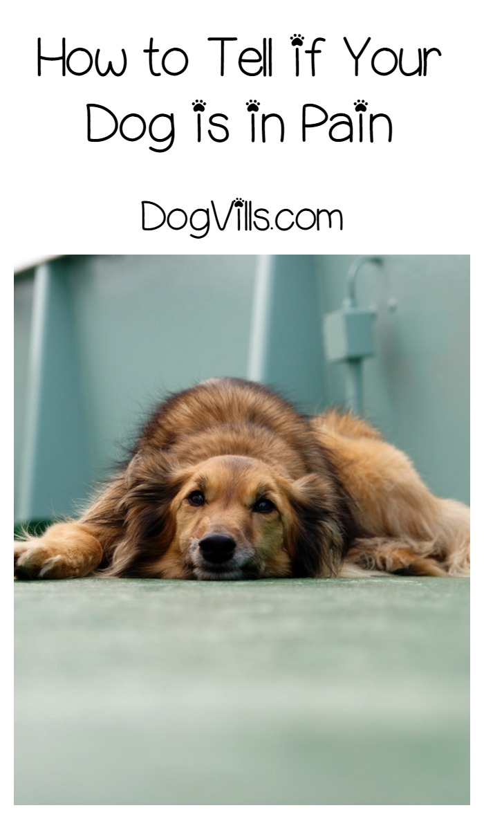 how can i tell if my dog is in pain   dogvills