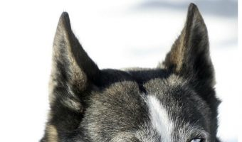 Are huskies cat killers? You wouldn't believe how many people think they are! Check out the answer, plus dog training tips to keep your pets getting along.
