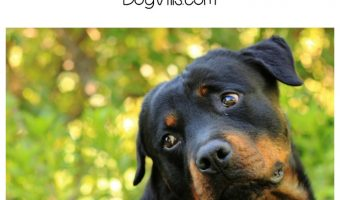 Everything You Need to Know About Living with a Rottweiler