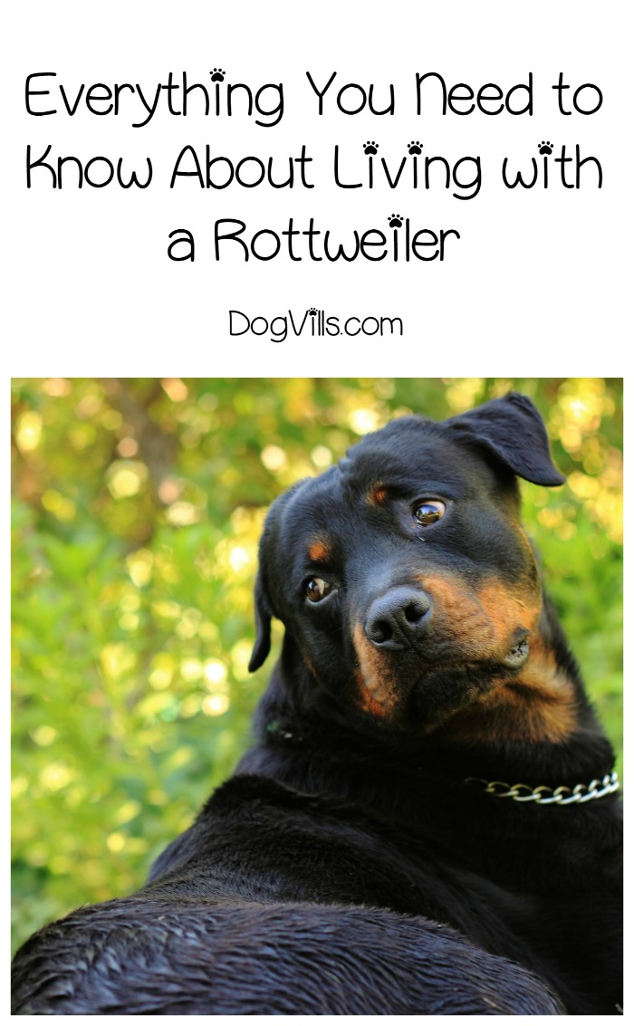 Everything You Need to Know About Living with a Rottweiler ...