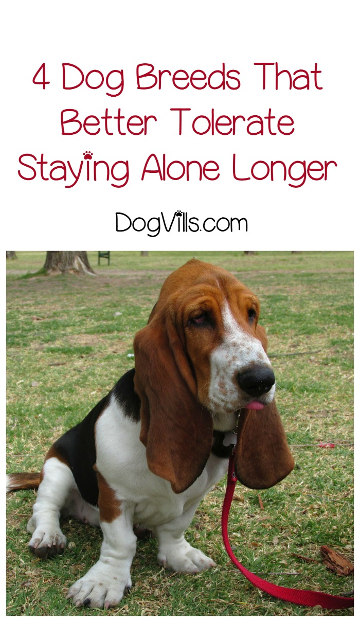 Which Dog Breeds Better Tolerate Staying Alone for More Than Six Hours?