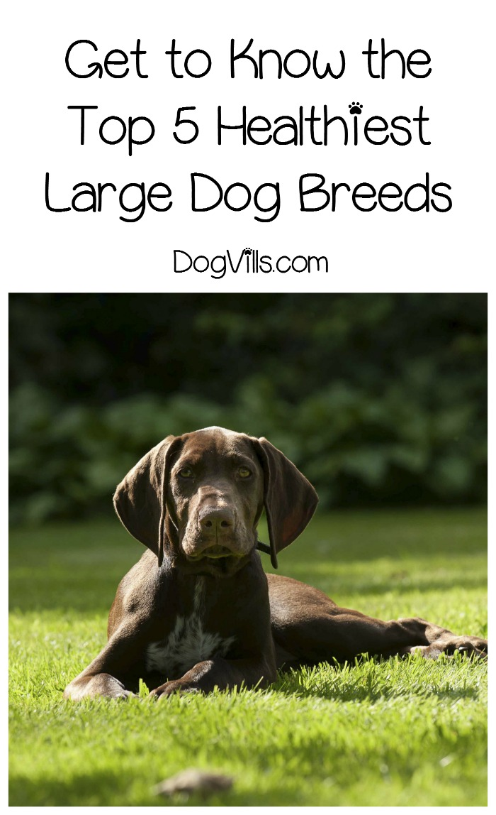 Get to Know the Top 5 Healthiest Large Dog Breeds