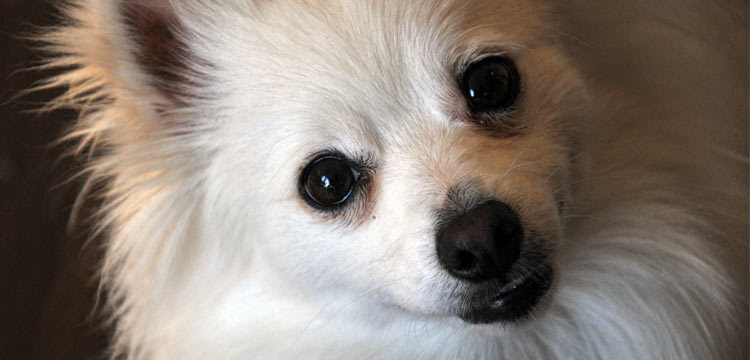 Is The Pomchi Dog Breed Right For You Dogvills