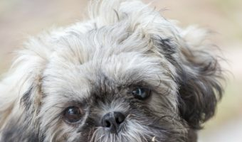 Looking for adoption tips to find a healthy hypoallergenic dogs? Check out the top ten healthiest dogs that don't shed!