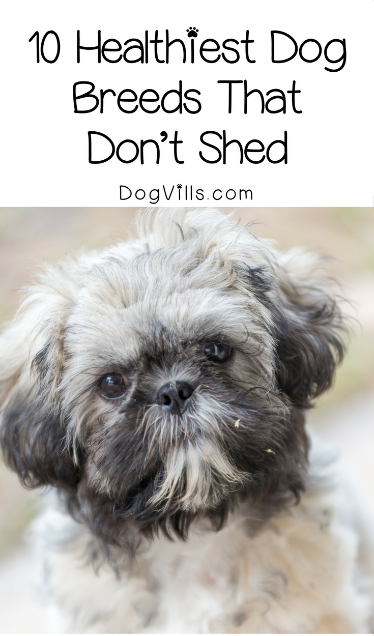Small Dog Breeds List That Dont Shed
